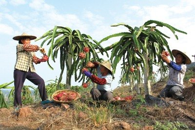 Dragon Fruit Business Increases Women's Wealth in S China