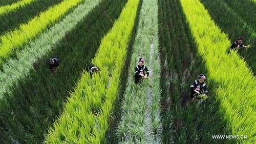 Ethnic Miao Women Work in Paddy-fields in SW China