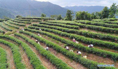 Tieguanyin Autumn Tea Harvested in SE China's Fujian