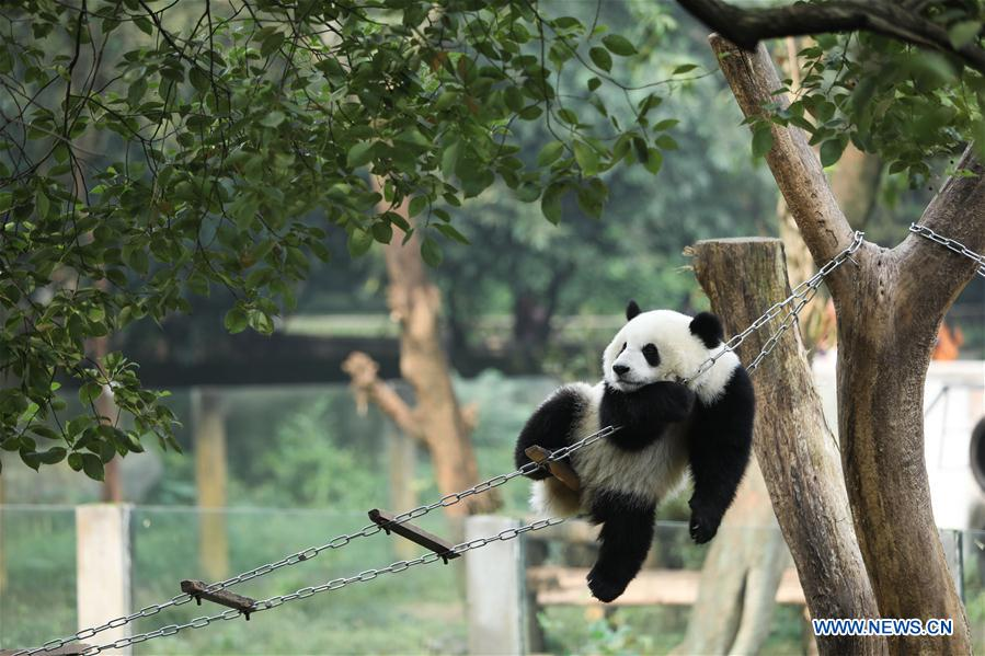 giant pandas 39 happy life at sw china 39 s chongqing zoo all china women 39 s federation. Black Bedroom Furniture Sets. Home Design Ideas