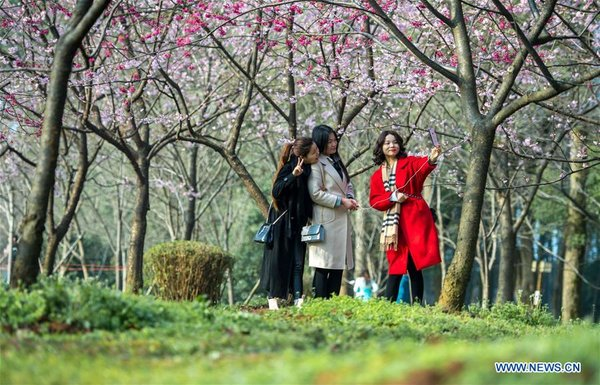 Cherry Blossoms in Donghu Scenic Area in Wuhan