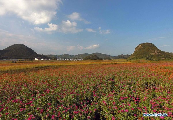 Colorful Flower Fields Boost Tourism in Southwest China's Yunnan