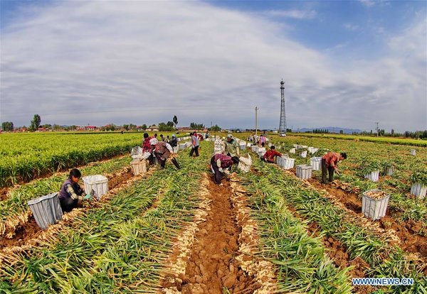 Farmers Harvest Ginger in Qinhuangdao, N China's Hebei