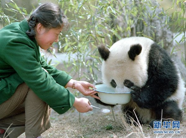 A Veteran Reporter's Stories with Giant Pandas