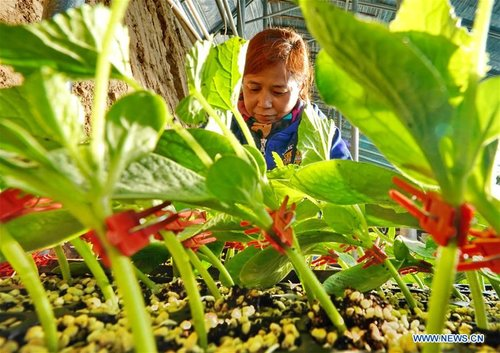 Vegetable Growing Boosts Village Development, Increases Farmers' Incomes in Hebei