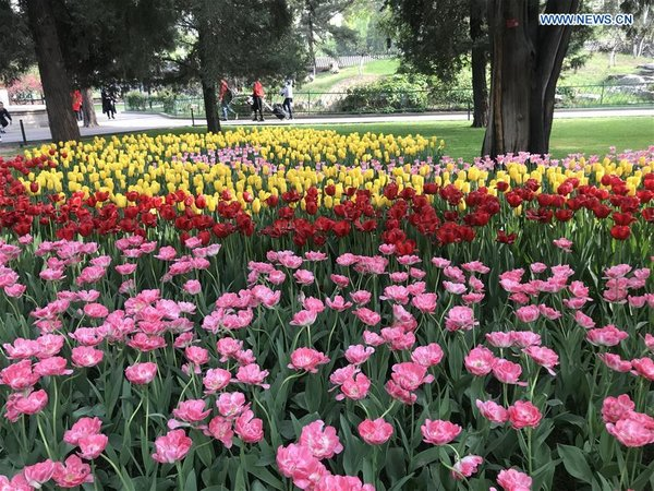 Tulip flowers in full blossom at Zhongshan Park in Beijing