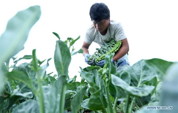 #CHINA-SUMMER SOLSTICE-FARMING (CN)