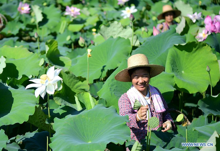 Lotus Seedpod Harvested in Feixi, China
